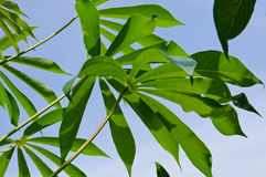 Feuilles de manioc Image stock