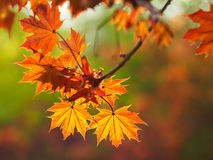 Feuilles de Mapple Photos stock
