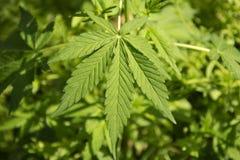 Feuilles de marijuana Photos stock