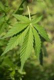 Feuilles de marijuana Image libre de droits