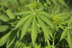 Feuilles de marijuana Images stock