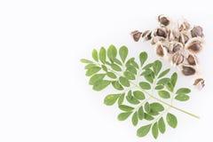 Feuilles de Moringa et graines - moringa oleifera Photo stock