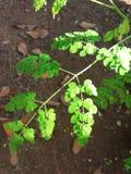 Feuilles de moringa oleifera photographie stock libre de droits