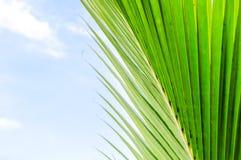 Feuilles de noix de coco Photos libres de droits