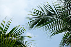 Feuilles de noix de coco Images stock