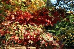 Feuilles de palmatum d'Acer image libre de droits