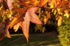 Feuilles de palmatum d'Acer photo stock