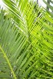 Feuilles de palmier photos libres de droits
