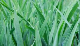Feuilles de plan rapproché d'herbe Vert saturé lumineux Jour chaud d'?t? image stock