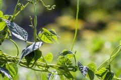 Feuilles de plante verte en plan rapproché de lumière du soleil d'été Images libres de droits
