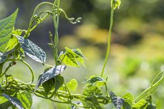 Feuilles de plante verte en plan rapproché de lumière du soleil d'été Photos stock