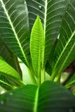 Feuilles de Plumeria Image stock