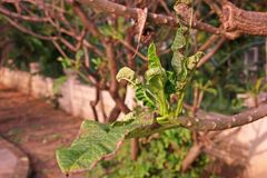 Feuilles de Plumeria et malformation de pousse photo libre de droits