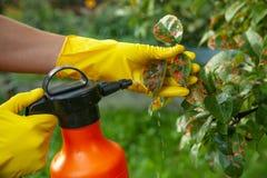 Feuilles de poire dans le point rouge Le jardinier arrose photos libres de droits