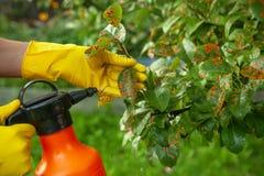 Feuilles de poire dans le point rouge Le jardinier arrose les feuilles malades d'arbre contre le champignon photos stock