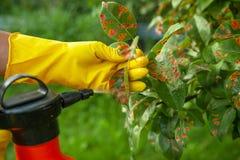 Feuilles de poire dans le point rouge Le jardinier arrose les feuilles malades d'arbre contre le champignon et les parasites photo libre de droits