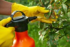 Feuilles de poire dans le point rouge Le jardinier arrose les feuilles malades d'arbre contre le champignon et les parasites images stock