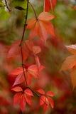 Feuilles de quinquefolia de Parthenocissus Photographie stock libre de droits