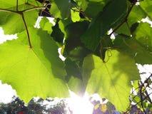 Feuilles de raisin Photographie stock