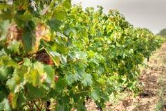 Feuilles de raisins dans un vignoble Image stock