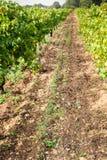 Feuilles de raisins dans un vignoble Image libre de droits