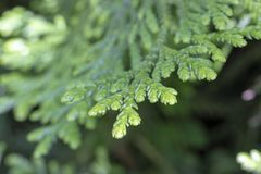 Feuilles de ( redcedar occidental ; Thuja plicata) ; arbre photos stock