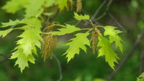 Feuilles de ressort et fleurs de chêne rouge du nord en vent léger, 4K banque de vidéos
