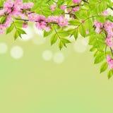 Feuilles de ressort et fleurs d'amande Photos libres de droits