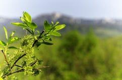 Feuilles de ressort - jeunes feuilles fraîches de ressort Image libre de droits