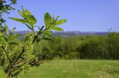 Feuilles de ressort - jeunes feuilles fraîches de ressort Photos libres de droits