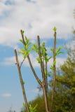 Feuilles de ressort sur Santa Rosa Plum Tree Photographie stock libre de droits
