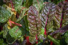 Feuilles de rhubarbe photo libre de droits