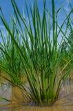 Feuilles de riz photographie stock libre de droits