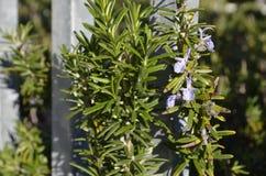 Feuilles de Rosemary avec la fleur pourpre photos libres de droits