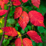 Feuilles de rouge Photo stock
