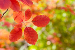 Feuilles de rouge accrochant sur l'arbre Image libre de droits
