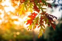 Feuilles de rouge au coucher du soleil en automne de chute Photo stock