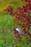 Feuilles de rouge d'automne sur un fond vert photographie stock