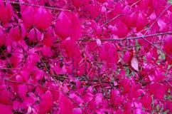 Feuilles de rouge dans l'automne Image libre de droits