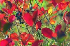 Feuilles de rouge dans l'herbe verte Photographie stock libre de droits
