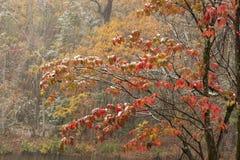 Feuilles de rouge dans la tempête de neige Photographie stock libre de droits