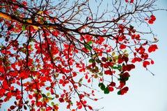 Feuilles de rouge de branches d'arbre Image stock