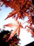 Feuilles de rouge en automne Photographie stock libre de droits