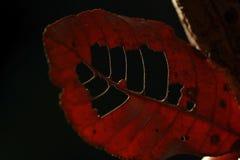 Feuilles de rouge en nature naturelle avec des trous photos libres de droits