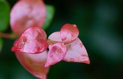 Feuilles de rouge sous la pluie image libre de droits