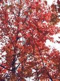 Feuilles de rouge sur l'arbre Photo libre de droits