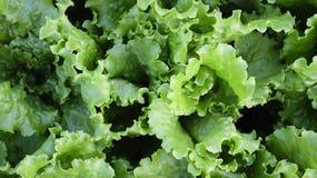 Feuilles de salade Photo libre de droits