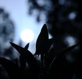 Feuilles de sauge sur le soleil à l'aube Images libres de droits