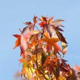 Feuilles de styraciflua de liquidambar d'arbre de Sweetgum au soleil Images stock