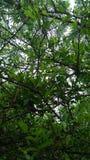 Feuilles de Sudarshan Photographie stock libre de droits
